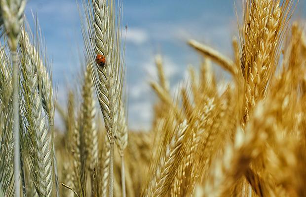 Les grains entiers